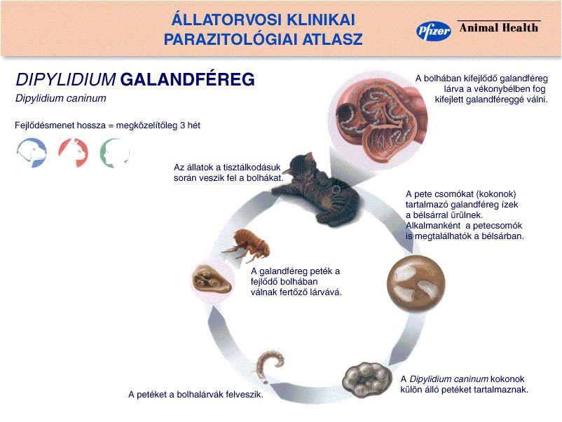 pinworms serdülők kezelésében paraziták kezelése féreg tinktúrájával